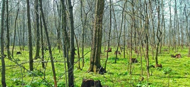 Dezastru ecologic. Pădurarii au pus la pământ şi pădurea Snagov